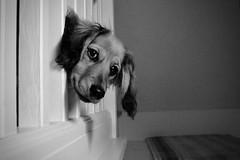 Smile, Ziggy (Suncity1967) Tags: dog puppy curious smile pet dachshund