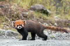 Red Panda (Tim Melling) Tags: ailurus fulgens styani wild red panda labahe sichuan china timmelling
