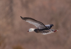 Snow goose blue phase (Lynn Tweedie) Tags: bluephase 7dmarkii feathers sigma150600mmf563dgoshsm bird beak eos snowgoose canon missouri ngc animal
