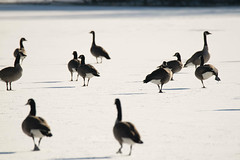 Canada Goose on ice (turn off your computer and go outside) Tags: warmday critter winter nature forzenpond snow wi ice outdoors march birdsofminnesotaandwisconsinpage59 southeastwisconsin wisconsin identified latewinter sunnyday canadagoose 2019 bird brantacanadensis