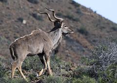 Greater Kudu (Tragelaphus strepsiceros)-9775 (Dave Krueper) Tags: africa antelope greaterkudu kudu mammal southafrica