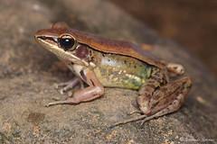 Indosylvirana temporalis (Fernando_Iglesias) Tags: sri lanka srilanka ceylon frogs amphibians pseudophilautus fejervarja duttaphrynus toads polypedates