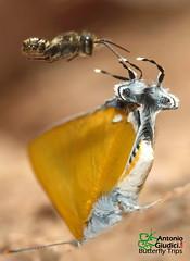 Monsters (Antonio Giudici Butterfly Trips) Tags: srilannanationalpark chiangmai thailand thedawnasroyal หางคู่เขากะเหรี่ยง lycaenidae theclinae pseudotajuriadonatanaarooni