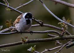 🇬🇧 Reed bunting (male) (vickyouten) Tags: reedbunting nature naturephotography wildlife wildlifephotography britishwildlife nikon nikond7200 nikonphotography sigma sigma150600mm penningtonflash leigh uk vickyouten