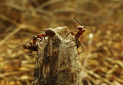 The Wood Ants are Awake..x (Lisa@Lethen) Tags: giant wood ants woken up spring nature macro insects bugs nest