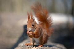 Squirrel macro #2 (Joachim Dobler) Tags: eichhörnchen eichhoernchen squirrel écureuil ardilla scoiattolo equito nature natur nagetier wildlife animal cute naturephotography squirrellove wildlifephotography bestsquirrel nutsaboutsquirrels cuteanimals