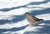 Encounter on the snowy trail (Otterhaus) Tags: japan bird wildbird hazelgrouse tetrastesbonasia エゾライチョウ 蝦夷雷鳥