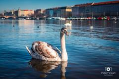 Swan lover in Prague, Czech Republic (PeterFineart) Tags: swan swanlovers swans animal bird wild nature naturelovers river vltava prague praga praha czech czechia czechphoto czechrepublic landscape landmark citycenter sunny water daylight nikon nikoncz
