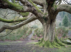 Old and Gnarled (Howie Mudge LRPS BPE1*) Tags: tree gnarled old landscape nature ngc nationalgeographic travel adventure woods woodland forest gwynedd wales cymru uk fujiga645 kodakportra160 analog analogphotography mediumformatphotography film filmisntdead believeinfilm