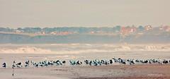 Libres. (Aprehendiz-Ana Lía) Tags: flickr nature nikon libres aves mar reflejo bandada atardecer tramonto gaviotas playa cielo mdq naturaleza mare sur beach airelibre imagen color