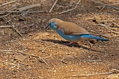 SOUTCORD nissensis 0390 (Bryan J. Smith) Tags: southerncordonbleu bluewaxbill uraeginthusangolensis waxbillsandallies estrildidae birdsofsouthafrica ©bryanjsmith bluebreastedcordonbleu