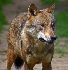 Wolf (anubishubi) Tags: pentaxk100d säuger säugetier raubtier beutegreifer wolf