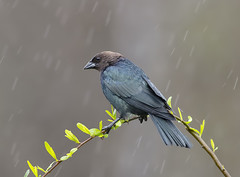 Brown-headed Cowbird in rain (Elizabeth Wildlife) Tags: brownheaded cowbird rain winter birds