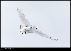 Harfang des neiges (Sébastien Dionne photographe) Tags: harfang harfangdesneiges oiseau oiseaux bird birds isleverte canon canon5dmarkiv canon5dmkiv 5dmarkiv 5dmkiv 150600mm 150600 sigma sigma150600 sigma150600dgoshsmsport sigma150600s