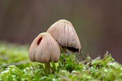 Coprinellus disseminatus (R. Engelsman) Tags: coprinellusdisseminatus fungi fungus fungo mushroom fairyinkcap champignon pilze gesätetintling paddenstoel zwerminktzwam forest nature natuur macro voornesduin netherlands nederland nl canon sigma 105mm