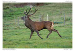 Le cerf   Stag (BerColly) Tags: france auvergne cantal cerf stag automne autumn brame slab portrait bercolly google flickr