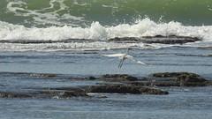 Цапля (unicorn7unicorn) Tags: море птица пляж волны цапля 365the2019edition 3652019 day77365 18mar19 colorfulnature