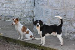 Gossos a Pujalt (esta_ahi) Tags: anoia perro gos dog pujalt barcelona spain españa испания