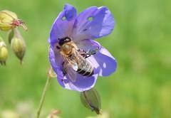 Tireless hard worker (Ostravak83) Tags: ostrava 2018 léto summer nikoncoolpixl830 hmyz insect včela bee květina flower práce work makro closeup detail květ blossom pyl pollen nature příroda animal zvíře pole field sběrpylu pollencollecting