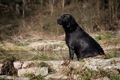 at the weir (uwe.kast) Tags: labrador labradorretriever labradorredriver hund haustier dog wehr weir panasonic lumix g9 leica leicadg1260f2840 wasser water