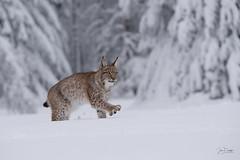 Lynx lynx (JirikD) Tags: 2019 nikond850 lynx rys savci mammals animal zima winter bigcat cub les nature sníh snow šelmy tamronsp7020028g2 forest českárepublika zvířata příroda mládě zvíře