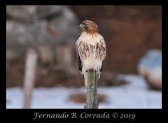 Red-tailed Hawk (8345) (fbc57) Tags: redtailedhawk buteojamaicensis birds birdsofprey raptors accipitridae pondroad shelburne vermont nikond850 nikon500f56epfedvrtc14x