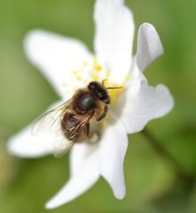 honey bee on wood anemone (Anemone nemorosa) 1/2 (conall..) Tags: wood anemone nemorosa woodanemone anemonenemorosa desenfoque outoffocus narrow dof selective focus nikon afs nikkor f18g lens 50mm prime primelens nikonafsnikkorf18g closeup raynox dcr250 macro bee honeybee apis mellifera apismellifera pollination flower pollen load pollenload colour cream ranunculaceae