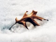 Smooth on Crystal (Robert Cowlishaw (Mertonian)) Tags: mertonian robertcowlishaw canon powershot sx60hs canonpowershotsx60hs leaf lunchstroll snow winter2019 sleek oakleaf forwisdom curvy
