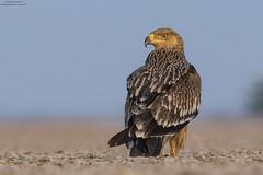 Eastern Imperial Eagle (Aquila heliaca) (Ankur Moitra- Nature & Wildlife Photography) Tags: eagle gujarat india wildlife imperialeagle birdofprey raptor