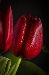 Waterdrops 1 (Martin Bärtges) Tags: tulips red rot tulpen macro makro makrofotografie macrophotography flowers blumen blüten blossoms colorful farbenfroh nikon d7000 nikonfotografie nikonphotography drops tropfen water wasser studio studiofotografie studiophotography flash blitz