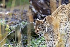 Luchs (Michael Döring - thx for 20.000.000 views) Tags: gelsenkirchen bismarck zoomerlebniswelt zoo luchs lynx afs600mm40e d850 michaeldöring