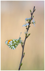 Orange Tip (nigel kiteley2011) Tags: orangetip anthochariscardamines nature macro insect butterfly butterflies canon 5dmk3 sigma180mm lepidoptera