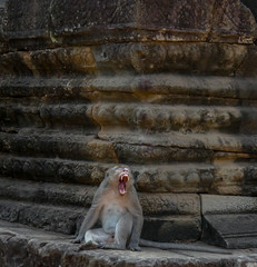 Baillements (MarineMld) Tags: singe animal sauvage asie voyage dent temple angkor cambodge