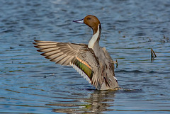 on the flap (pstrock1) Tags: goldenhour pintail fly nature water pintailmale marsh sky morning male jump wildlife beauty males duck wild wings eye bird pintails field