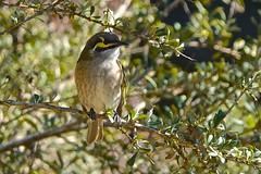 Yellow-faced Honeyeater (Rodger1943) Tags: honeyeater yellowfacedhoneyeater australianbirds sonyrx10m4