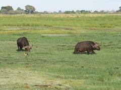 African Buffalos (Oleg Chernyshov) Tags: africanbuffalo synceruscaffer африканскийбуйвол synceruscaffercaffer