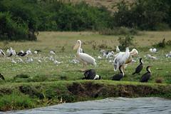 Great White Pelican (pbr42) Tags: africa uganda queenelizabethnationalpark nationalpark hdr water lake crater bird h2o kazinga kazingachannel animal nature greatwhitepelican pelican