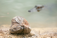 Try it (ChristianKphoto) Tags: coconut alligator gator florida water pond lurking animal nature