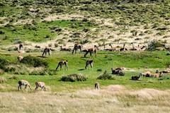 Wanacos (Hari Haru) Tags: landscape nature travel wildlife trekking chile patagonia torresdelpaine wanaco