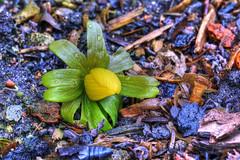 erster Frühlingsbote (jörgpreusser) Tags: blume blumen blüte blüten yellow makro macro focusstack focusstacked tropfen