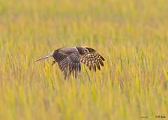 Pied Harrier (Staf_Ferry) Tags: piedharrier harrier seberangperak paddyfield perak malaysia wildlife nature ngc bird birding birdphotography nikond500 nikkorafs500mmf4gedvr