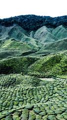 Green tea (Cédric Nitseg) Tags: malaisie travelling backpacker nikon malasia travel vert green thé voyage cameronhighlands d7000 plantation tea greelow