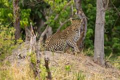 Leopard (Thomas Retterath) Tags: thomasretterath nature natur safari nopeople 2018 okavangodelta botswana africa afrika khwai wildlife bigfive leopard felidae raubtiere predator carnivore säugetier mammals animals tiere pantherapardus