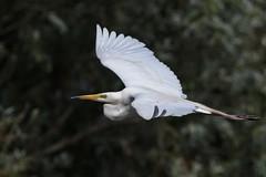 Great White Egret (Phil Gower Bird Photography) Tags: canon great white egret bird nature wildlife flight