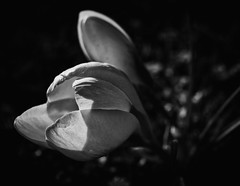BLOOM! (Ageeth van Geest) Tags: bokeh light crocus flower bw blackandwhite monochrome zwartwit hardlight
