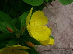 Garden Primrose (jmunt) Tags: flower weed gardenflower