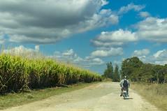 Sugarcane fields near the sugarmill (lezumbalaberenjena) Tags: carmita camajuani camajuaní villas villa clara cuba lezumbalaberenjena 2019