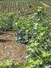 Alf 0001 - 0488 (Alf Ribeiro) Tags: agribusiness agriculture brazil rural agricultural america crop cut farm farmland field fig figs food fresh fruit green immaturity leaves nature outdoor plant production raw south tree