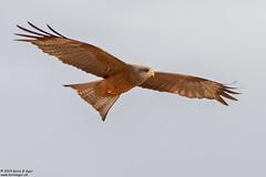 Yellow-billed Kite, Milvus aegyptius (Kevin B Agar) Tags: bif birds milvusaegyptius southafrica yellowbilledkite