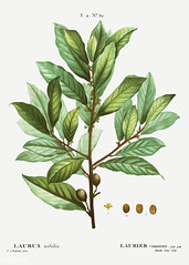 Bay laurel tree branch (Free Public Domain Illustrations by rawpixel) Tags: pierre redoute redouté antique art arts artwork bay baylaurel botanical botany creativecommons0 drawing element engraved engraving environment evergreen fineart graphic graphite historic historical history illustrated illustration ink laurel lauriercommun laurus laurusnobilis leaf name nature nobilis painting pencil pierrejoseph pierrejosephredouté plant publicdomain retro sketch sketching traitédesarbresetarbustes tropical vintage